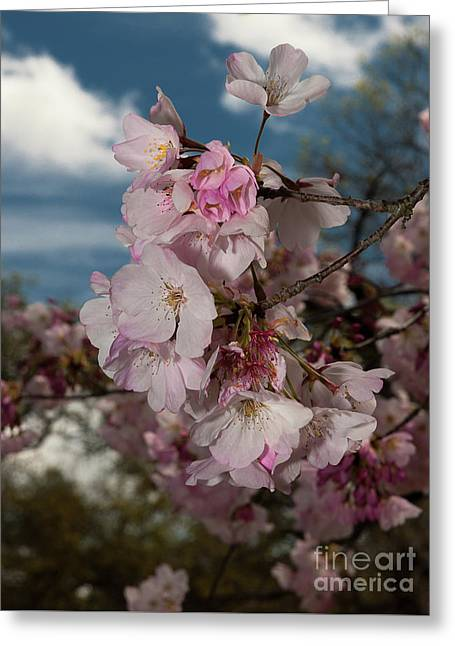 Cherry Blossoms Vertical Greeting Card