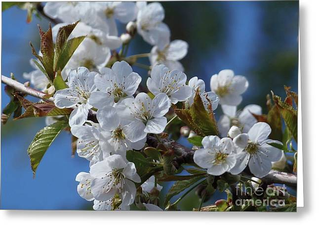 Greeting Card featuring the photograph Cherry Blossoms by Victor K