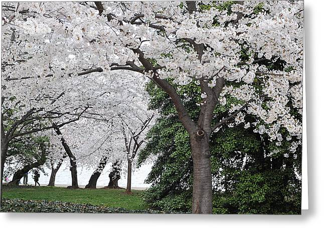 Cherry Blossoms Washington Dc Greeting Card