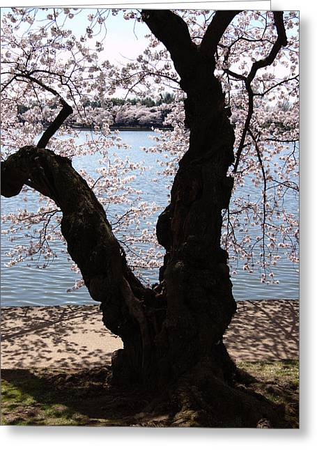 Cherry Blossoms Washington Dc Greeting Card by Wayne Higgs