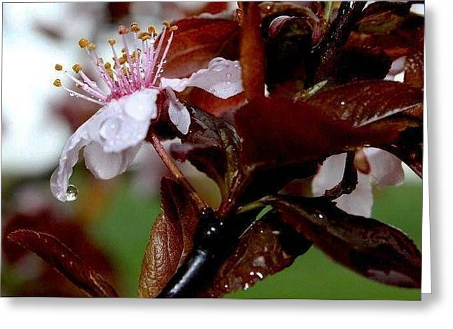 Cherry Crown Greeting Card by Toni Jackson