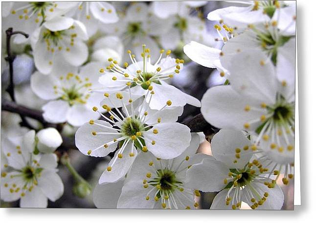 Cherry Flowers Spring White Petals Stamens 8268 1920x1080 Greeting Card