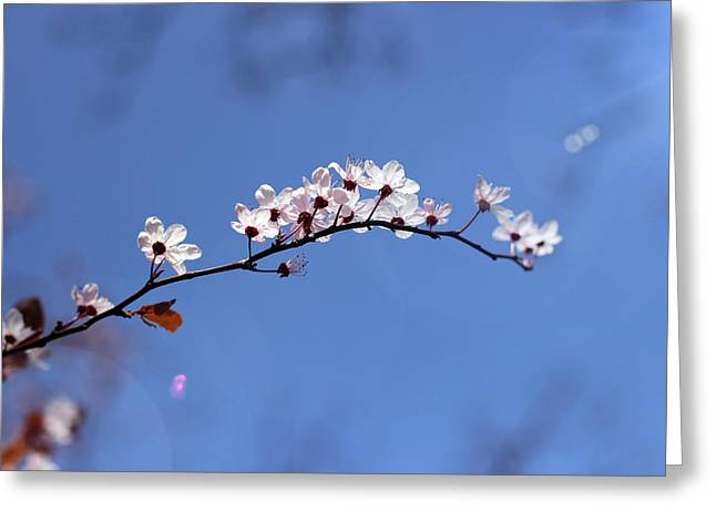 Cherry Flowers With Lens Flare Greeting Card