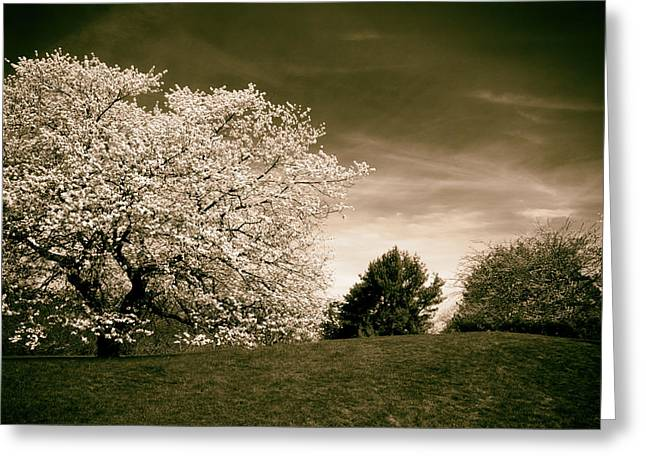 Spring Cherry In Sepia Greeting Card