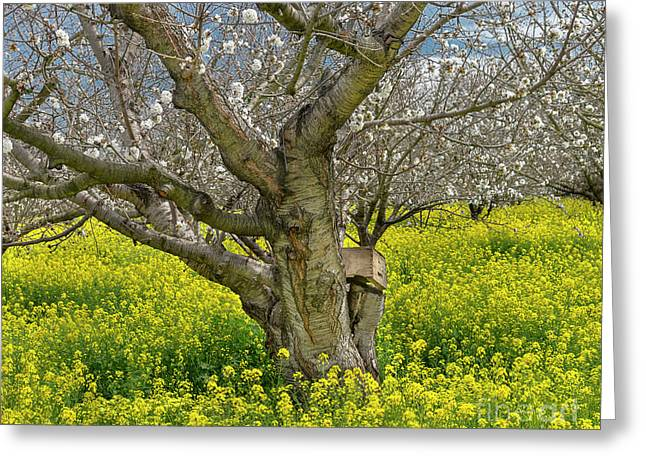 Cherry Orchard 8 Greeting Card