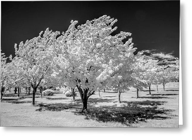 Cherry Orchard In Infrared At The Cherry Point Farm Market Greeting Card by Randall Nyhof