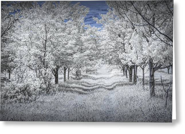 Cherry Orchard Roadway In Infrared Greeting Card by Randall Nyhof