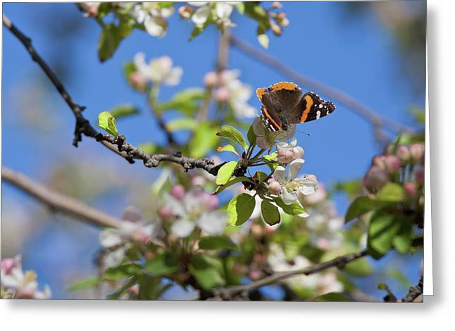 Monarch Butterfly On Cherry Tree Greeting Card
