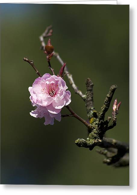 Cherry Tree Bloosom Greeting Card by Alexander Rozinov