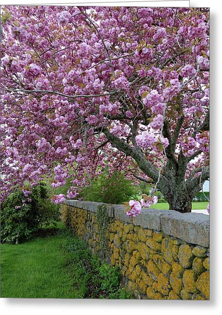 Cherry Tree, Cape Cod Greeting Card