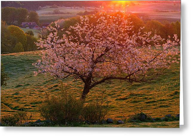 Cherry Tree In Bloom Broesarp Sweden Greeting Card by Panoramic Images