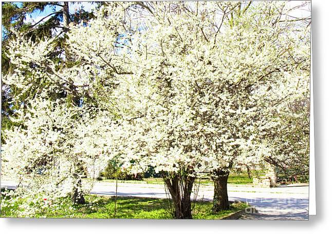 Cherry Trees In Blossom Greeting Card