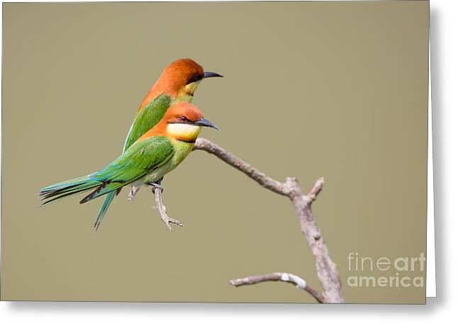 Chestnut-headed Bee-eaters Greeting Card