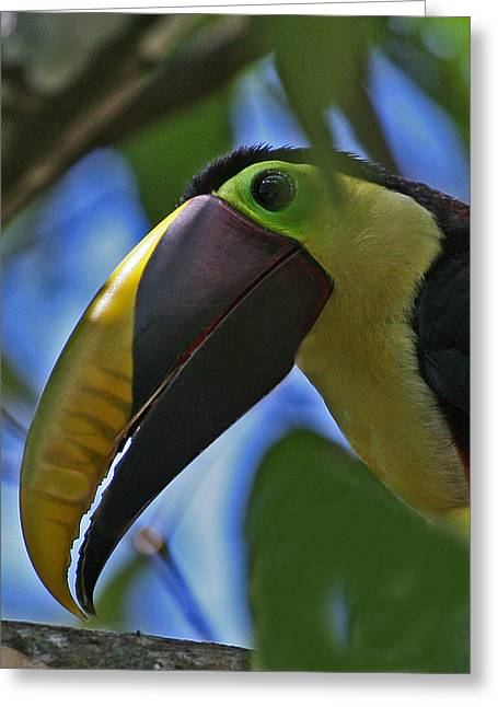 Chestnut-mandibled Toucan Greeting Card