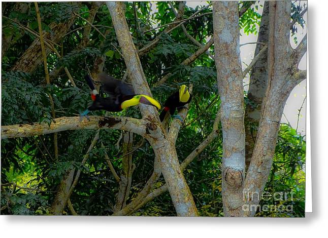 Chestnut-mandibled Toucans Greeting Card
