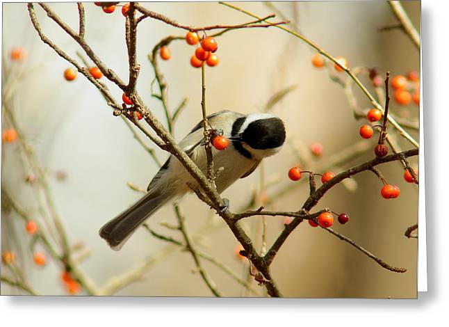 Chickadee 1 Of 2 Greeting Card by Robert Frederick