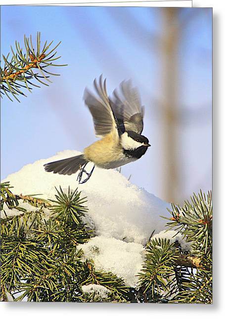 Black Berries Greeting Cards - Chickadee-13 Greeting Card by Robert Pearson