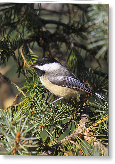 Feeder Framed Prints Greeting Cards - Chickadee-9 Greeting Card by Robert Pearson