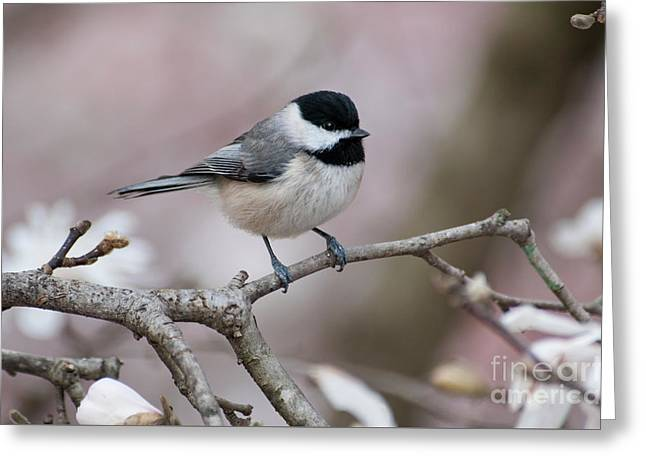 Greeting Card featuring the photograph Chickadee - D010026 by Daniel Dempster