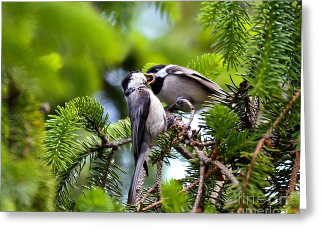 Chickadee Feeding Time Greeting Card