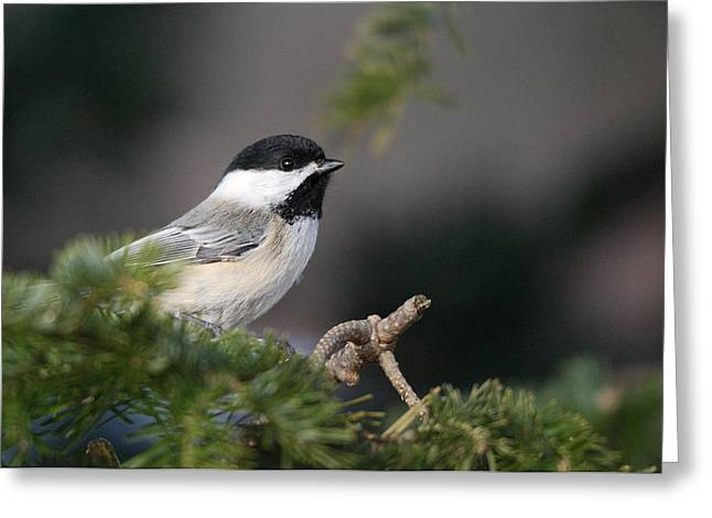 Greeting Card featuring the photograph Chickadee In Balsam Tree by Susan Capuano