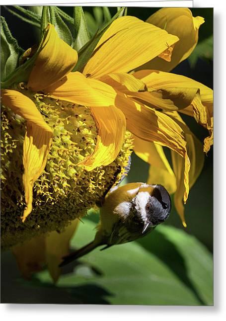 Chickadee Sunflower Greeting Card by Bill Wakeley