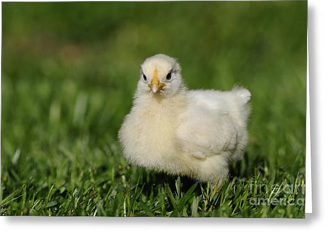 Chicken Chick Greeting Card