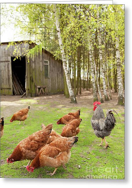 Chickens Cropping Grass In Yard Greeting Card by Arletta Cwalina