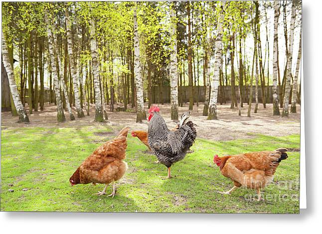 Chickens Flock In Yard Greeting Card by Arletta Cwalina