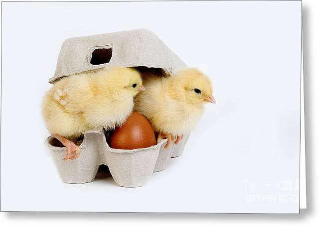 Chicks In Eggbox Greeting Card by Gerard Lacz