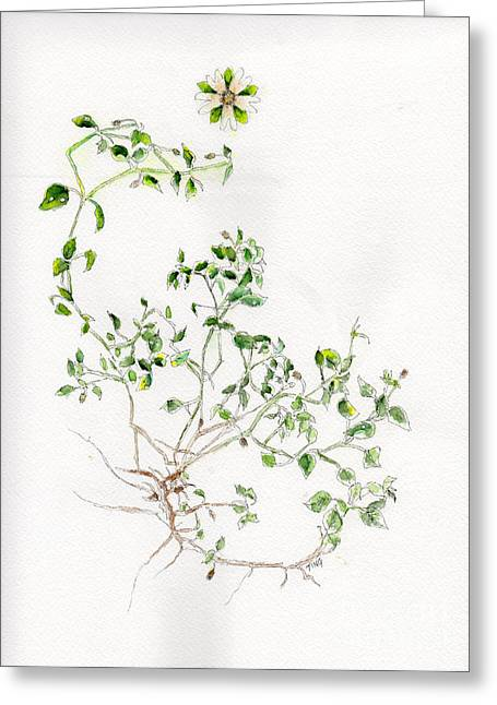 Chickweed Herb Greeting Card by Doris Blessington