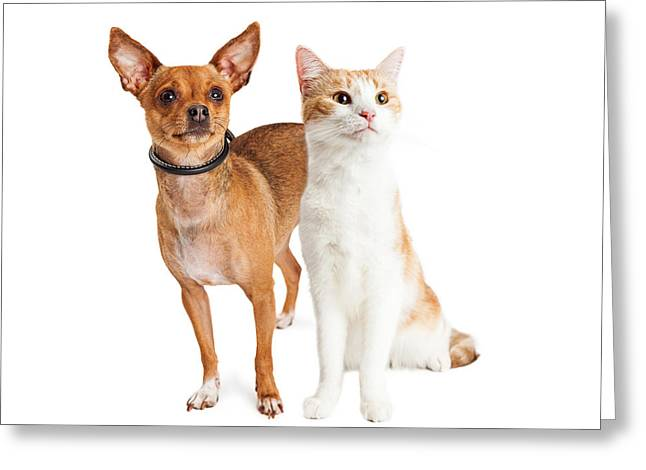 Chihuahua Dog And Orange And White Cat Together Greeting Card by Susan Schmitz