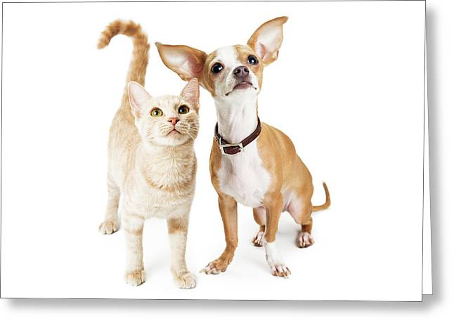 Chihuahua Dog And Young Orange Tabby Cat Greeting Card by Susan Schmitz