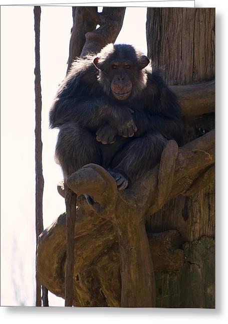 Chimpanzee In A Tree Greeting Card