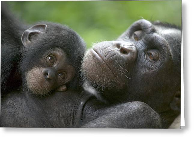 Chimpanzee Mother And Infant Greeting Card