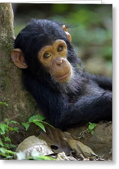 Chimpanzee Pan Troglodytes Baby Leaning Greeting Card