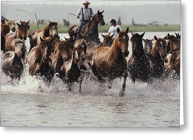 Chincoteague Cowboys Drive Their Wild Greeting Card
