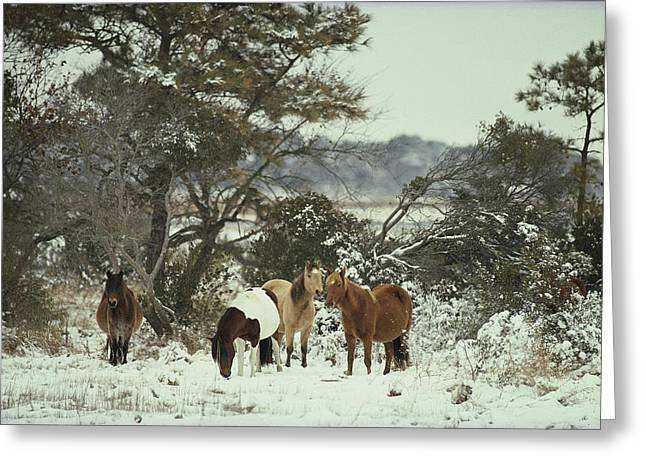Wildlife Refuge. Greeting Cards - Chincoteague Ponies Forage For Food Greeting Card by Medford Taylor