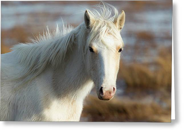 Chincoteague White Pony Greeting Card