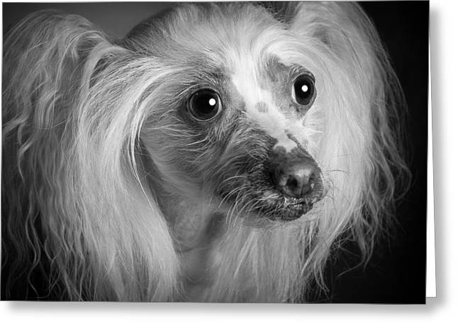 Chinese Crested - 04 Greeting Card