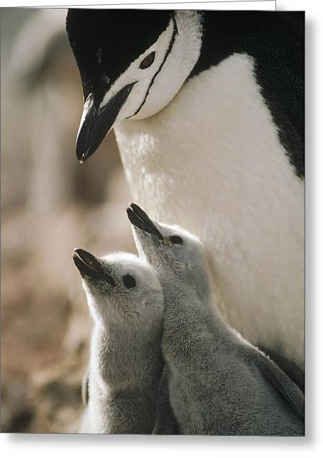 Animal Behaviour Greeting Cards - Chinstrap Penguin Pygoscelis Antarctica Greeting Card by Tui De Roy