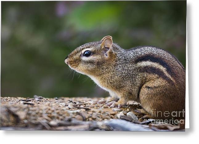Chipmunk   Greeting Card by Andrea Silies