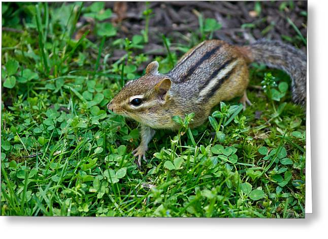 Chipmunk Greeting Card by Edward Myers