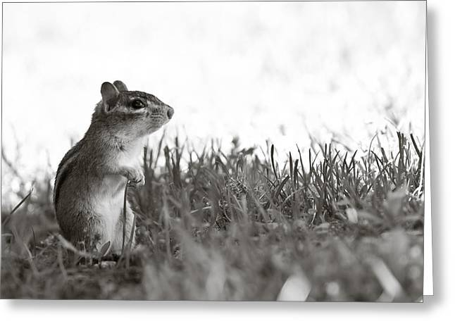 Chipmunk In Black And White Greeting Card by Edward Myers
