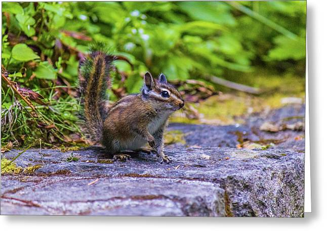 Greeting Card featuring the photograph Chipmunk by Jonny D
