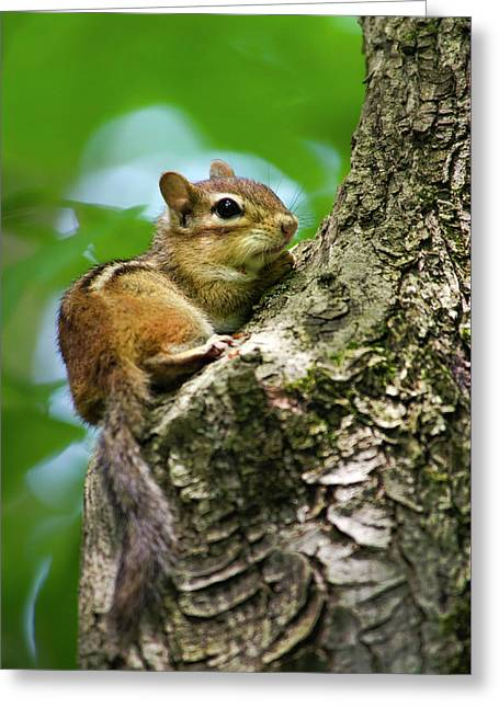 Chipmunk On A Limb Greeting Card by Christina Rollo