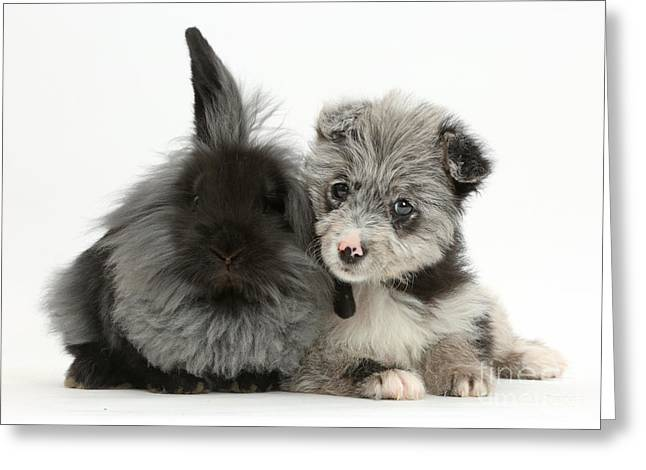 Chipoo Puppy With Black Rabbit Greeting Card by Mark Taylor
