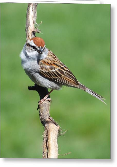 Chipping Sparrow A Greeting Card by Cindy Treger