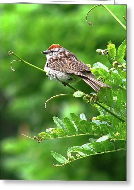 Chipping Sparrow Greeting Card by Deborah Johnson