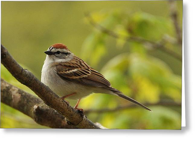 Chipping Sparrow In Sugar Maple Greeting Card by Gerald Hiam